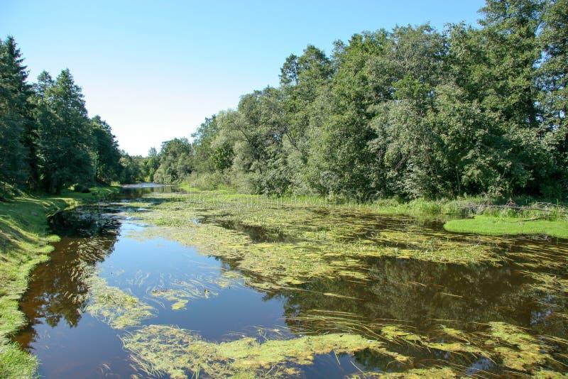 Bevuxen flod i sommar med andmatet, alger och reflexion av träd royaltyfri bild