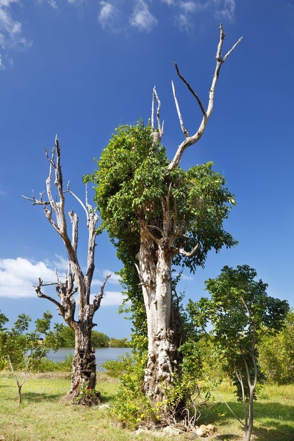 Bevuxna döda träd, Antigua royaltyfria bilder