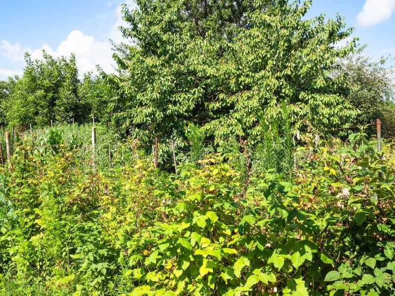 bevuxna hallonbuskar och körsbärsrött träd arkivfoton
