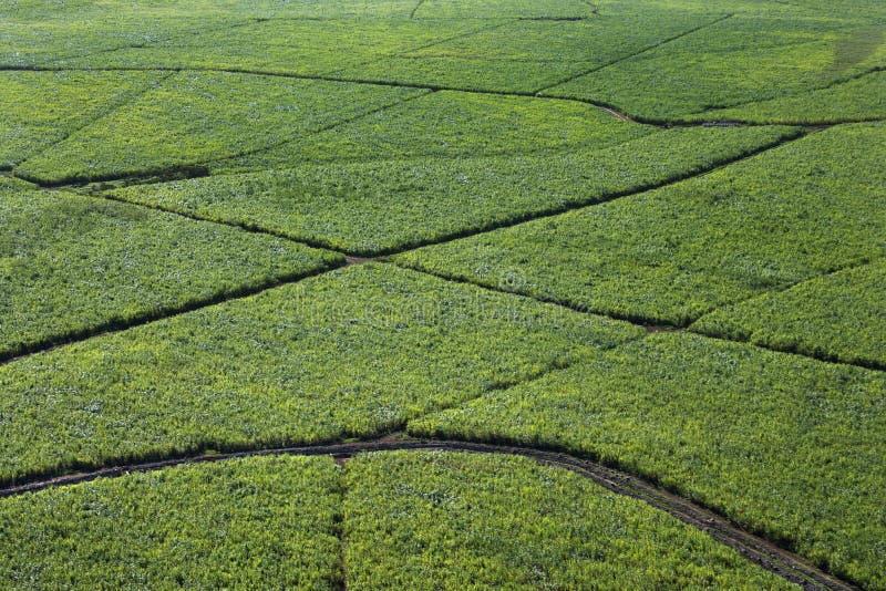 Bewässerte Zuckerrohrgetreide. lizenzfreies stockbild