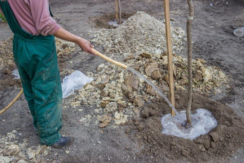 Bewässerung eines Baums, der gerade 5 gepflanzt worden ist stockbilder