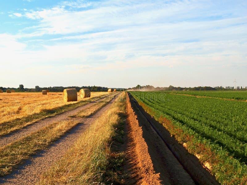Bewässerung eines Gemüsefeldes mit einem großen Wasserschlauch im Sommer stockfotografie
