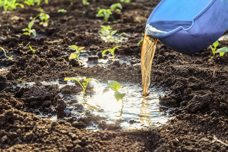 Bewässerung mit Düngemitteln von jungen Gemüsetrieb Pfeffersämlinge im offenen Boden lizenzfreies stockbild