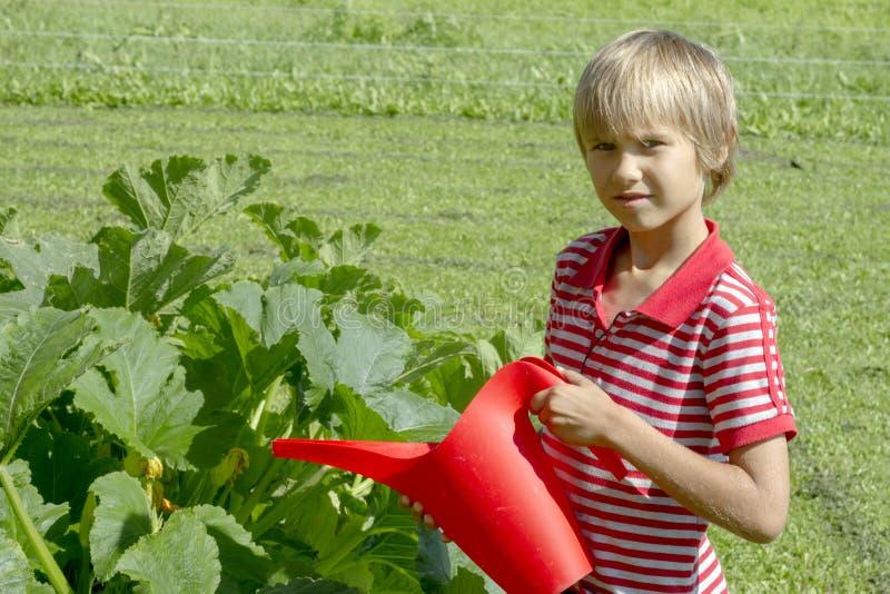 Bewässerungsgemüse des Jungen im Gemüsegarten der Familie Gesund, arbeitend, Lebensstilkonzept im Garten lizenzfreie stockfotos