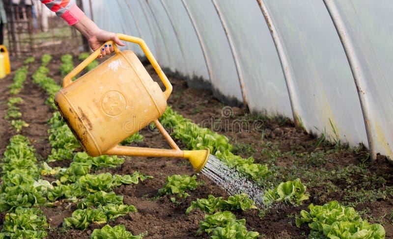 Bewässerungsgemüse im Gewächshaus stockfotografie