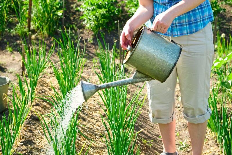 Bewässerungszwiebel des Frauengärtners mit Gießkanne lizenzfreie stockfotos