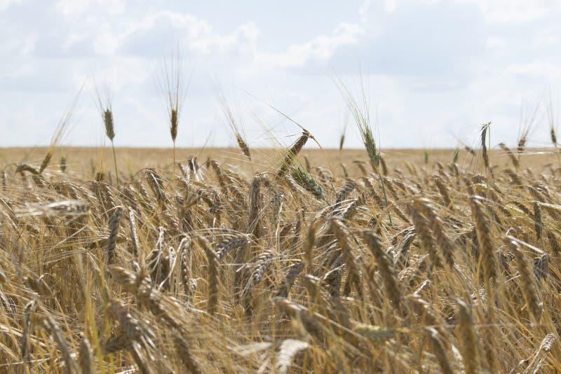 Bewölkter Hintergrund des blauen Himmels des Weizenfeldes lizenzfreie stockbilder