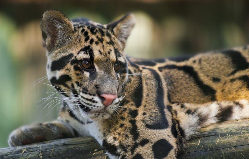 Bewölkter Leopard lizenzfreie stockfotos