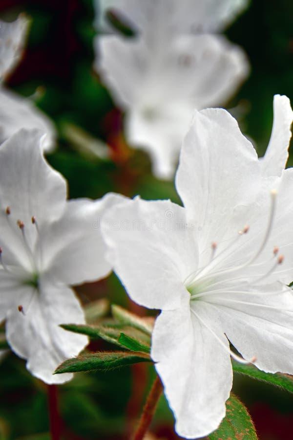 Bewölkter Morgen des Konzeptes Schneeweiße Azalee blüht Nahaufnahme, selektiven Fokus Empfindliche weiße Blumen auf dunkler Hinte stockfotografie