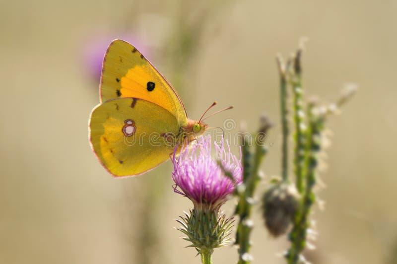 Bewölkter Schwefel-Schmetterling auf purpurroter Distel lizenzfreie stockfotografie