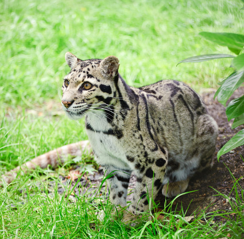 Bewölktes Leopard Neofelis Nebulova Portrait der großen Katze stockbilder