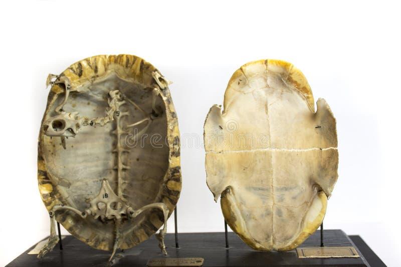 Bewaard skelet van schildpad stock foto