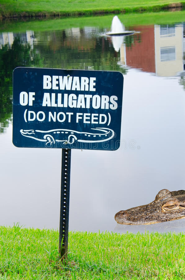 Beware of alligators sign with alligator in lake. A BEWARE OF ALLIGATORS sign on a small lake with an alligator in the water in the background royalty free stock image