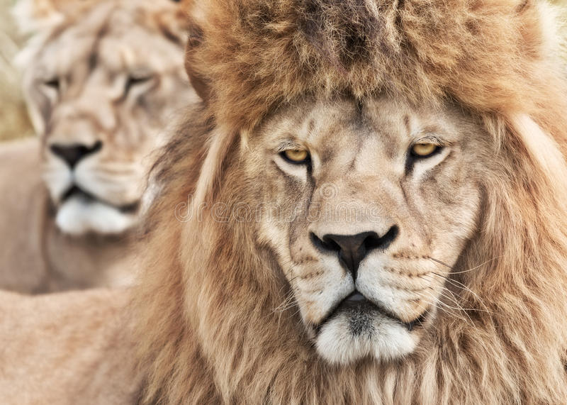 Beware their fury. Pair of powerful and beautiful lions royalty free stock photo