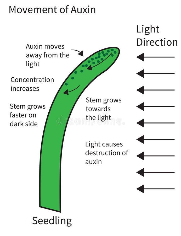 Beweging van Auxinen in een Zaailing stock illustratie
