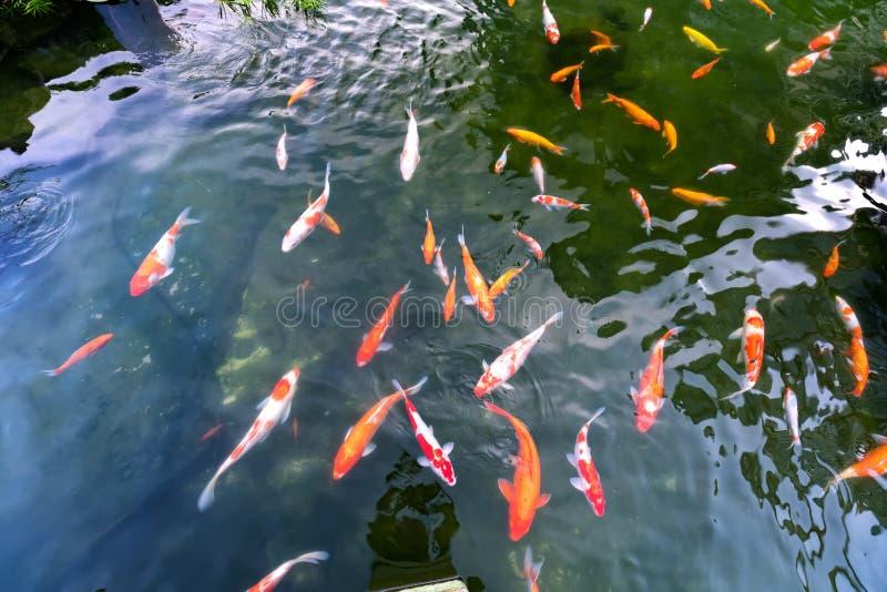 Bewegingsgroep kleurrijke koivissen in duidelijk water stock afbeeldingen