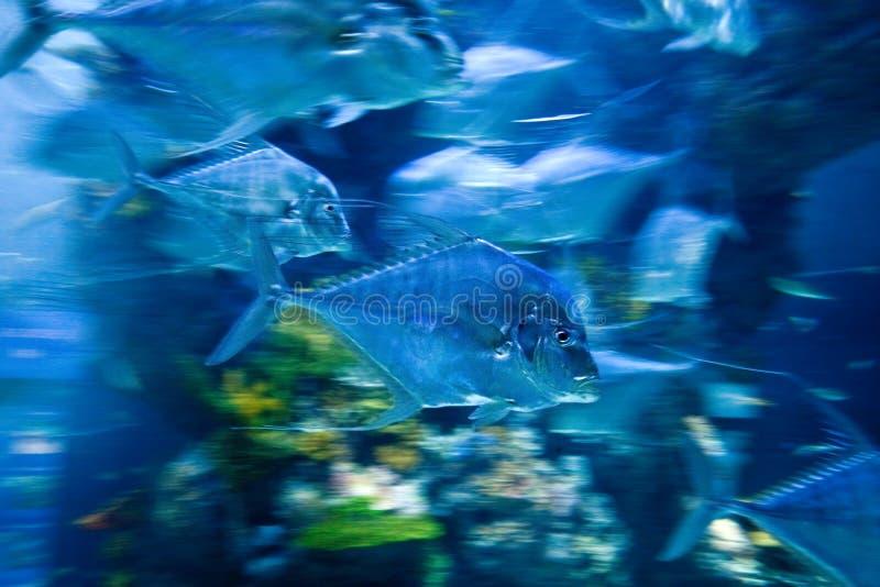 Bewegliche Fische im Unterwasseraquarium stockbild