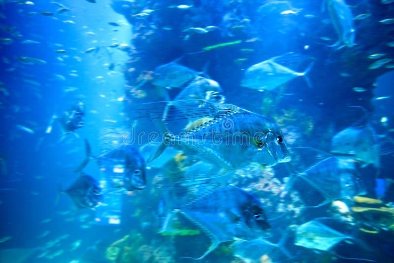 Bewegliche Fische im Unterwasseraquarium lizenzfreie stockfotos