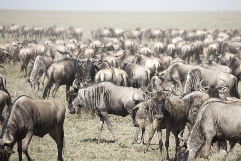 Bewegliche Herde des Gnus in der großen Migration in Serengeti Natio stockbild
