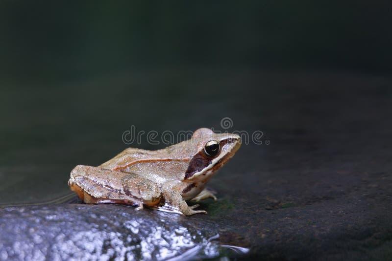 Beweglicher Frosch (Rana dalmatina) stockfoto
