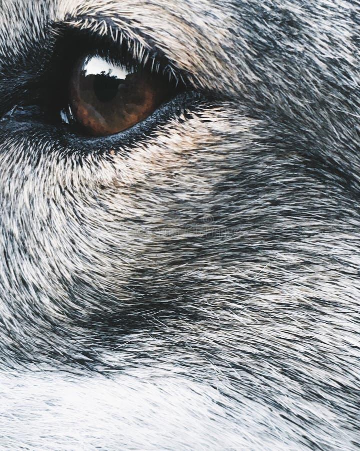 Bewegliches Foto der Nahaufnahme von dog& x27; s-Auge stockfoto