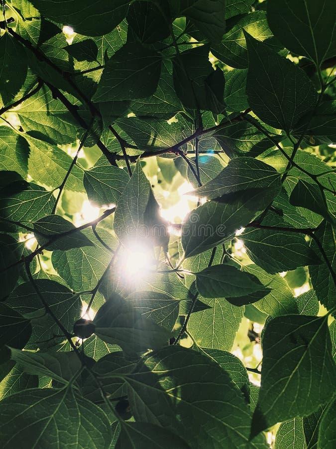 Bewegliches Foto der Sonne glänzend durch die Blätter stockfoto