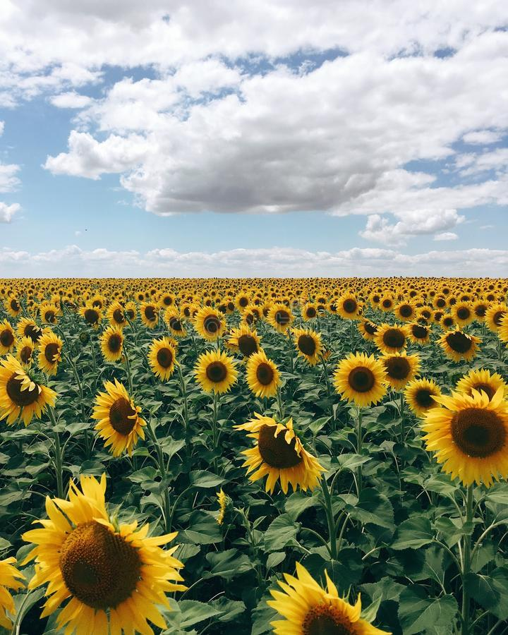 Bewegliches Foto des Sonnenblumenfelds lizenzfreie stockfotografie