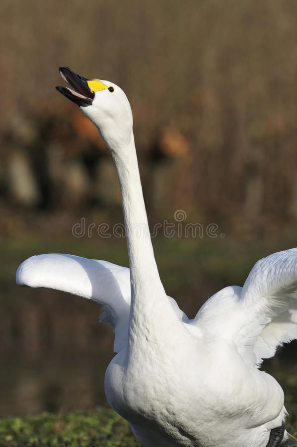 Bewick's Swan royalty free stock images