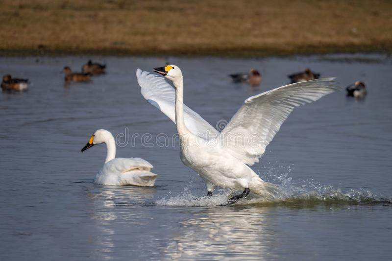 Bewick`s Swan - Cygnus columbianus bewickii landing on a Gloucestershire wetland. A wild adult Bewick`s Swan - Cygnus columbianus bewickii landing on water at a stock images