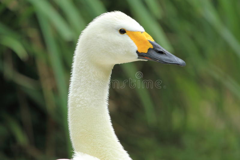 Bewicks swan arkivbild