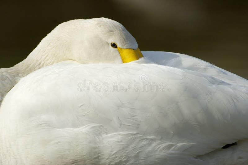 Download Bewicks Of Tundra Swan - Cygnus Bewickii Stock Image - Image: 11950291