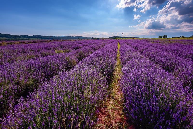 Bewolkt landschap met lavendel in de zomer begin Juni Tegenover elkaar stellende kleuren, mooie wolken, dramatische hemel stock fotografie