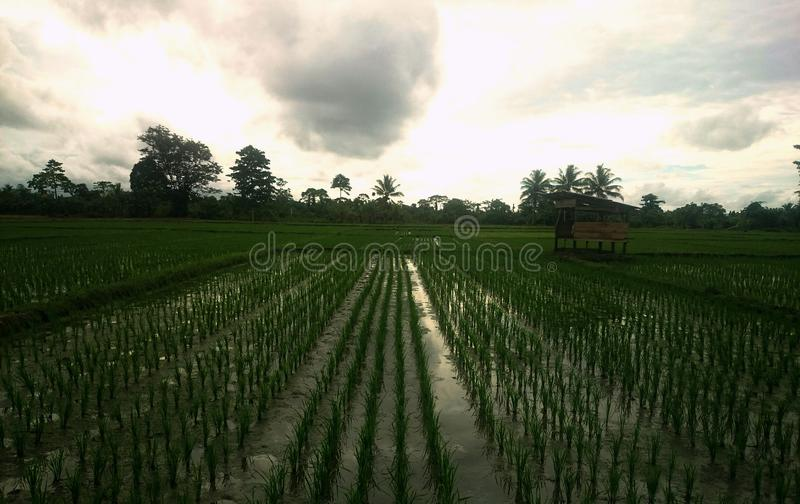 Bewolkt in Paddy Field royalty-vrije stock fotografie