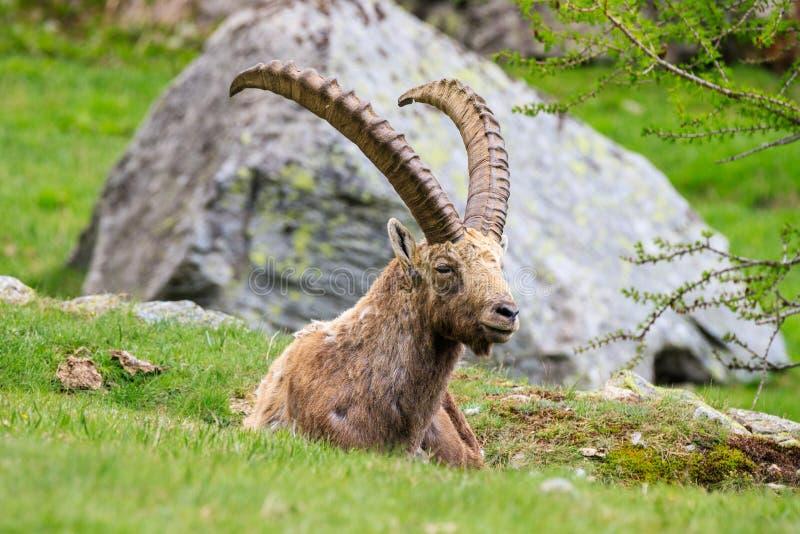 ?bex no parque nacional de Gran Paradiso fotos de stock royalty free