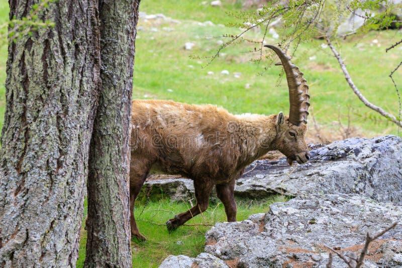 ?bex no parque nacional de Gran Paradiso imagem de stock royalty free