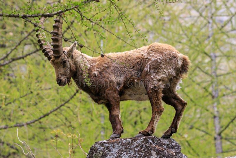 ?bex no parque nacional de Gran Paradiso fotografia de stock