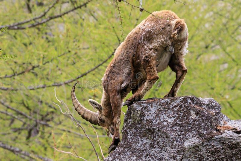 ?bex no parque nacional de Gran Paradiso foto de stock royalty free