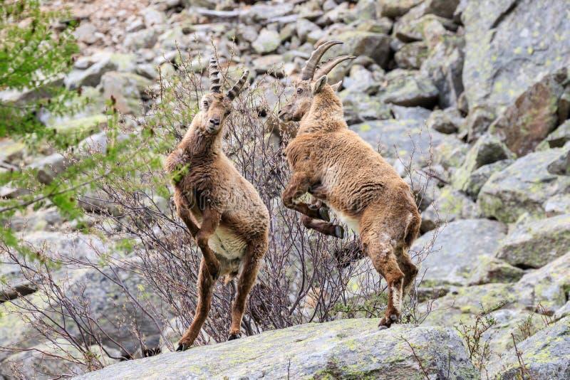 ?bex no parque nacional de Gran Paradiso imagens de stock royalty free