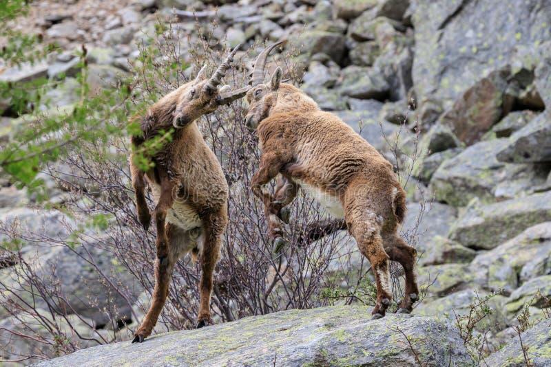 ?bex no parque nacional de Gran Paradiso imagem de stock