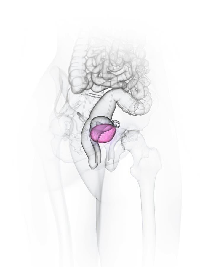 A bexiga de uma mulher ilustração do vetor