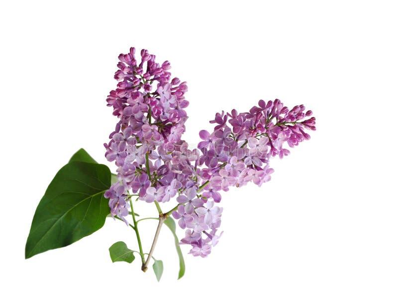 bez fioletowy kwiat zdjęcie stock