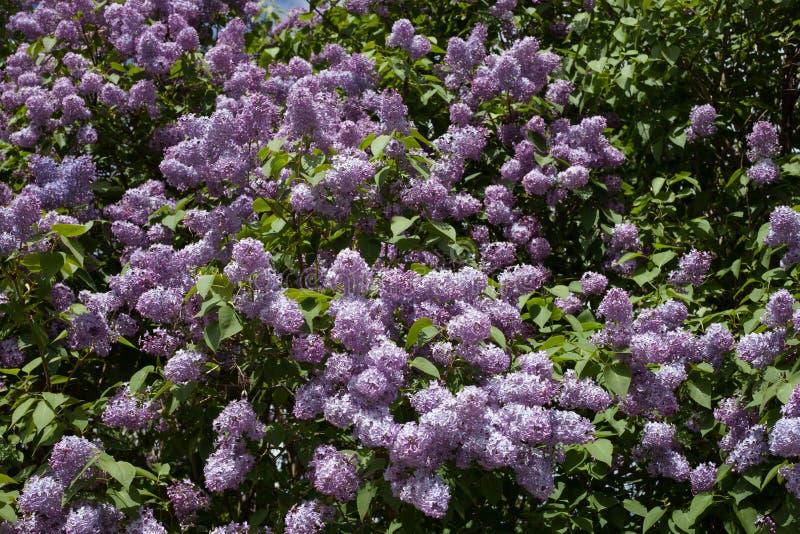 Download Bez kwiatów zdjęcie stock. Obraz złożonej z california - 57671240