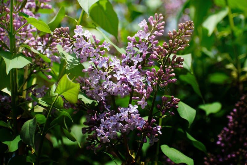 bez kwiatów gałęziastych kwiatów zielona lila wiosna Delikatny bez na zielonym naturalnym tle Wiosny gałąź kwitnąć obraz royalty free