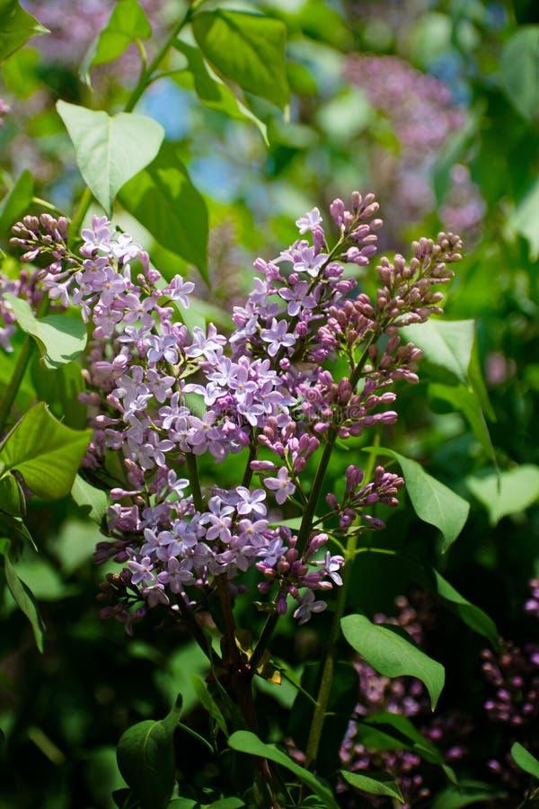 bez kwiatów gałęziastych kwiatów zielona lila wiosna Delikatny bez na zielonym naturalnym tle Wiosny gałąź kwitnąć obrazy stock