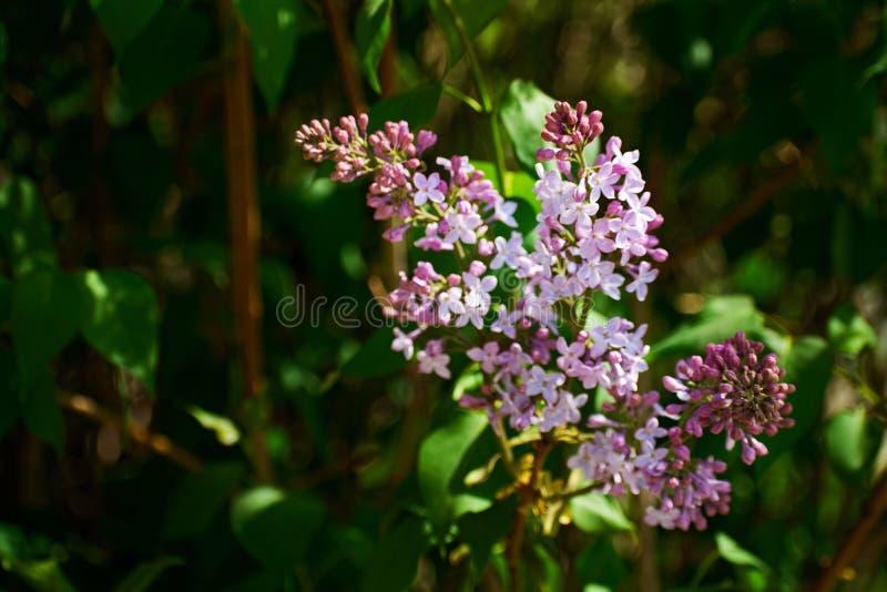 bez kwiatów gałęziastych kwiatów zielona lila wiosna Delikatny bez na zielonym naturalnym tle Wiosny gałąź kwitnąć fotografia stock