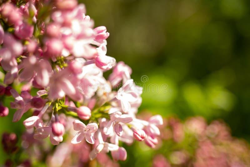 Bez kwitnie, Syringa vulgaris, w ostrzegaj?cego popo?udnia ?wietle w wiosna ogr?dzie, zamazuj?cy t?o zdjęcie stock