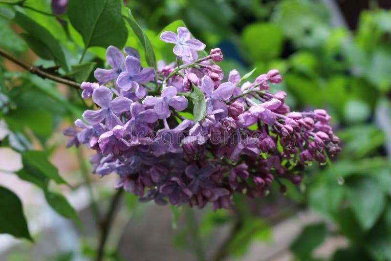 Bez kwitnie w wiosna parku w deszczu Kitki kwiaty wypełniają parka z perfumowaniem zdjęcie royalty free