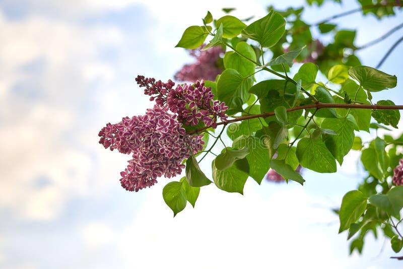 Bez kwitnie z zielonymi liśćmi przeciw niebieskiemu niebu obrazy royalty free