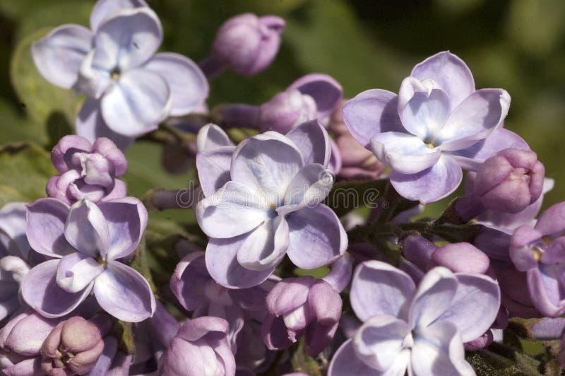 Bez w kwiacie fotografia royalty free