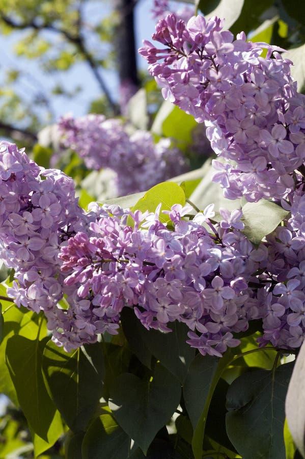 Bez w kwiacie fotografia stock